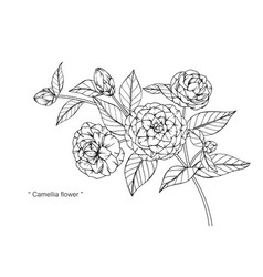 Camellia flower drawing vector