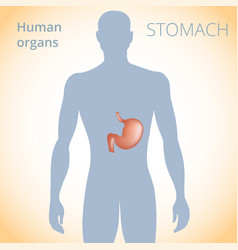 location of the stomach in the body the human vector image