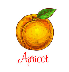 apricot sketch isolated fruit icon vector image vector image