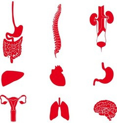 Set of human organs red vector