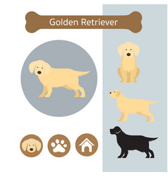 Golden retriever dog breed infographic vector