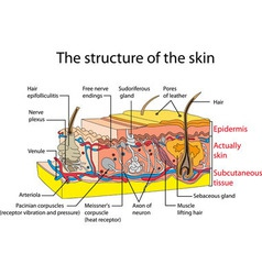 Skin vector