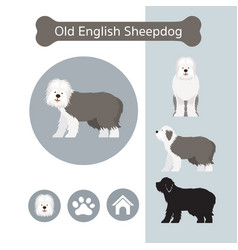 Old english sheepdog dog breed infographic vector