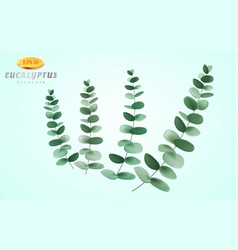 set of eucalyptus inflorescence on light vector image