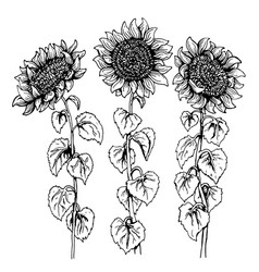 set of three hand drawn graphic sunflower isolated vector image