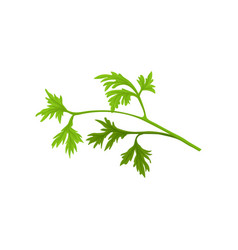 small branch of fresh parsley with bright green vector image