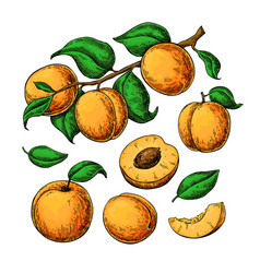 apricot drawing set hand drawn fruit vector image
