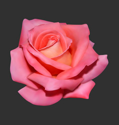 realistic rose on dark background vector image
