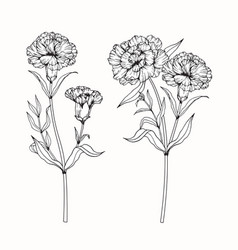 carnation flower drawing vector image