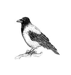 Raven skech bird crows vector