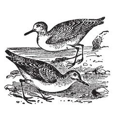 Sanderling vintage vector
