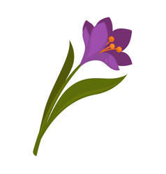 spring violet crocus flower with green leaves vector image vector image