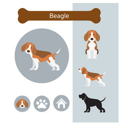 Beagle dog breed infographic vector