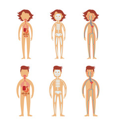 Human internal organs in male and female bodies vector