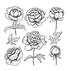 peonies hand drawn floral garden sketch vector image