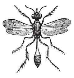 sand wasp vintage vector image