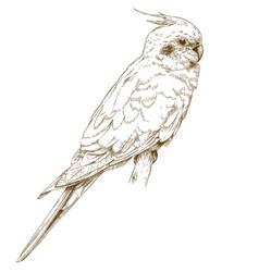 Engraving of cockatiel vector