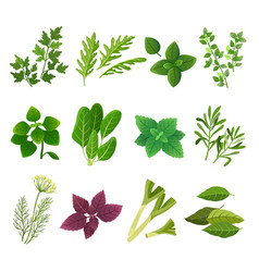 Herbs and spices oregano green basil mint spinach vector