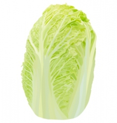 Vector Chinese cabbage vector