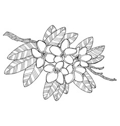 Plumeria flowers coloring book vector