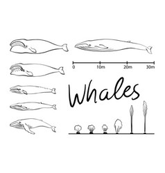 Silhouettes of whaleblue whale isolated black and vector