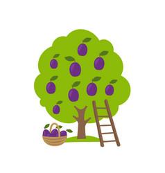 Plum fruits tree orchard garden harvest ladder vector