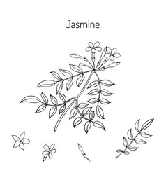 Jasmin branch with flowers vector