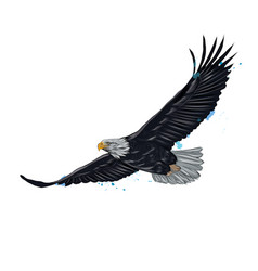 flying bald eagle from a splash watercolor vector image