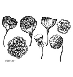 set hand drawn black and white lotus vector image