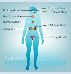 endocrine system woman vector image vector image