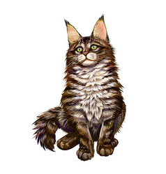 maine coon sitting and looking away isolated on vector image