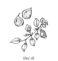 hand drawn of pod of chick peas on a plant vector image