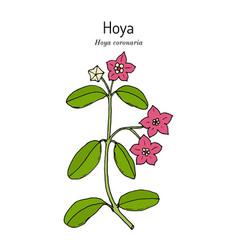 Hoya coronaria medicinal plant vector