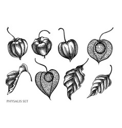 set hand drawn black and white physalis vector image