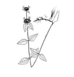 clinopodium vulgare sketch vector image vector image