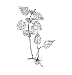 galeobdolon luteum botanical sketch vector image
