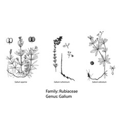set of botanical vector image