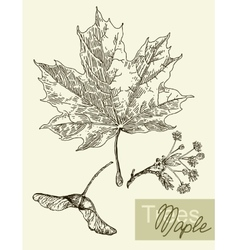 leaves flowers and fruits of the maple vector image