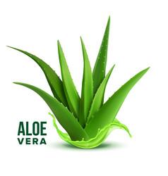 natural medicine foliage plant aloe vera vector image