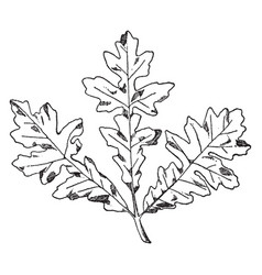 Spray of bitter oak were often used on friezes vector