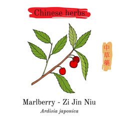 Medicinal herbs of china marlberry ardisia vector