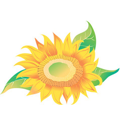 yellow sunflower with green leaves vector image vector image