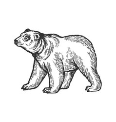 bear goes on four legs sketch engraving vector image