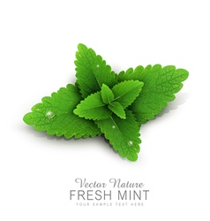 fresh mint leaves with dew drops vector image