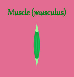 Human organ icon in flat style muscle vector