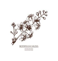 boswellia vector image