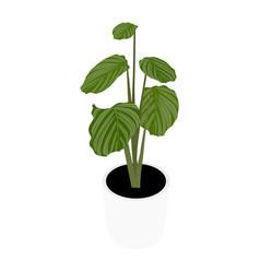 houseplant potted plant calathea orbifolia vector image