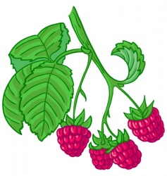 raspberry branch vector image vector image