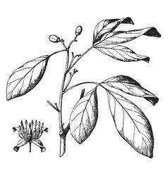 Balsamocitrus paniculata vintage vector