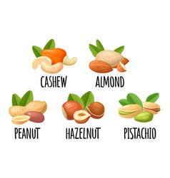 Set hazelnut peanut almond cashew pistachio vector